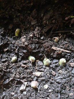 Mufliers à Grandes Fleurs (graines et semances)