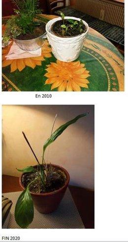 spatiphyllum qui stagne