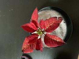 Poinsettia feuilles noircissent