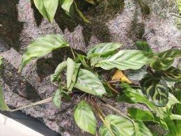 Mur végétal et calathea