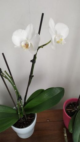 Floraison d'une orchidée