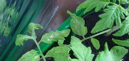 Tâches blanches sur jeunes plants de tomates