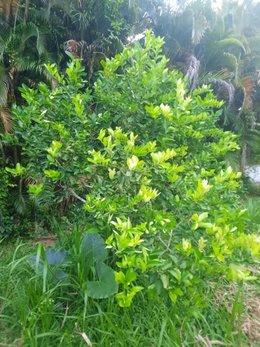 Citronnier sans citrons :(