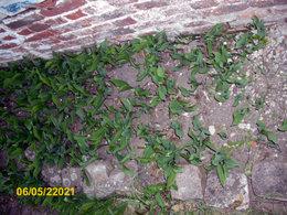 Replantez-vous au jardin le muguet offert en pot ?