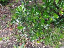 Quelle maladie : taches blanches sur arbuste