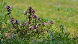 Plante inconnue de moi qui envahit notre pelouse