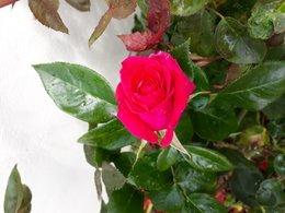 rosier malade