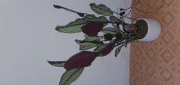 Calathea : feuilles restent dressées
