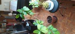 Cherche Sarracenia en région parisienne