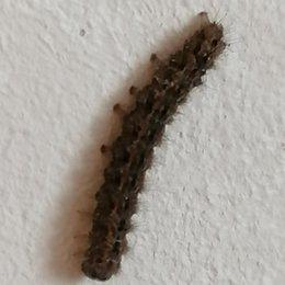 Qu'elle est cette chenille ?