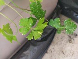 Petites taches jaunes sur feuilles