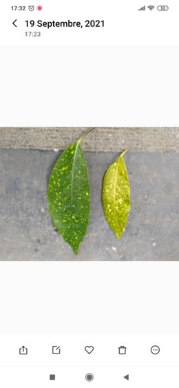 Aucuba malade qui perd ses feuilles