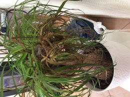 Beaucarnea : branche molle