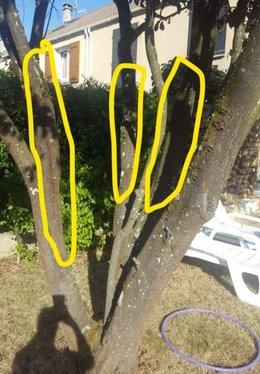 Prunus à branches fendues