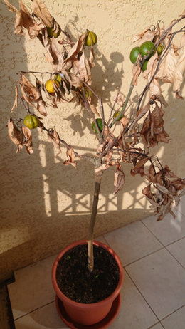 Mandarinier Jardiland