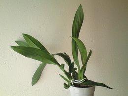Orchidées sans identités