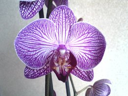 Phalaenopsis: Feuille malade