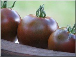 Tomate-cerise de couleur