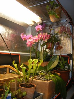 saison pour la division de plantes carnivores: SARRACENIA PINGUICULA TINA