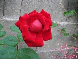 pouvez vous me donner le nom de cette rose