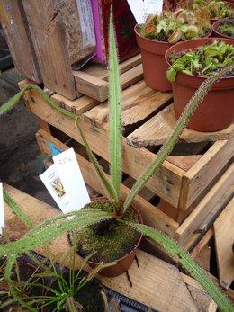 Drosera - Plante carnivore