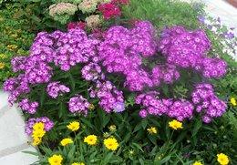 les phlox pour le jardin fleuri