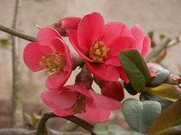 Floraison de mon cognassier
