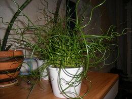 JUNKUS SPIRALIS plante d'aspect étonnant