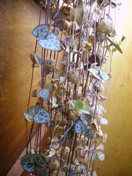 plante cascade