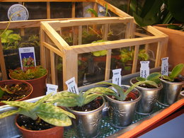 JEUNES PLANTULES D'ORCHIDEES IN-VITRO