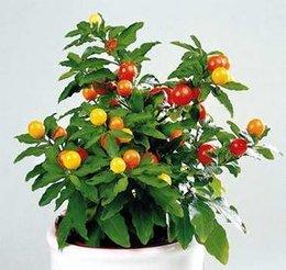Solanum capsicastrum (pommier d'amour)