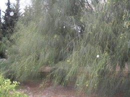 nom de cet arbuste méditerranéen