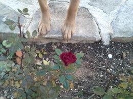 Les roses de nos jardins