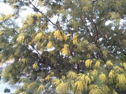 mimosa précoce