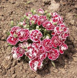 Oeillet de poète aux 100 fleurs