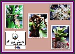 Plante du Brésil, belle inconnue . . . suite !