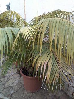 palmier d'exterieur