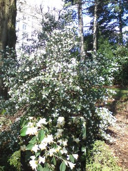 Arbuste fleuri à identifier