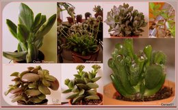 De la famille des Crassulaceae . . .