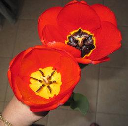 Tulipe au coeur changeant