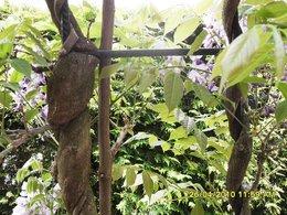 Glycine fleurie