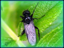 Insecte noir . . .