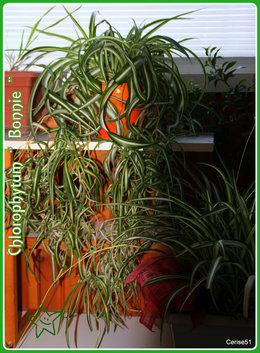 Chlorophytum- tige / marcottage??