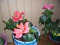 Hibiscus d'intérieur