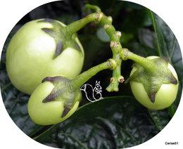 Poire-melon ou Melon-poire - Solanum muricatum