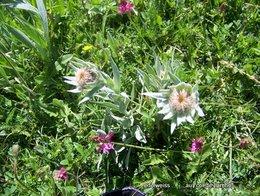 edelweiss. .....