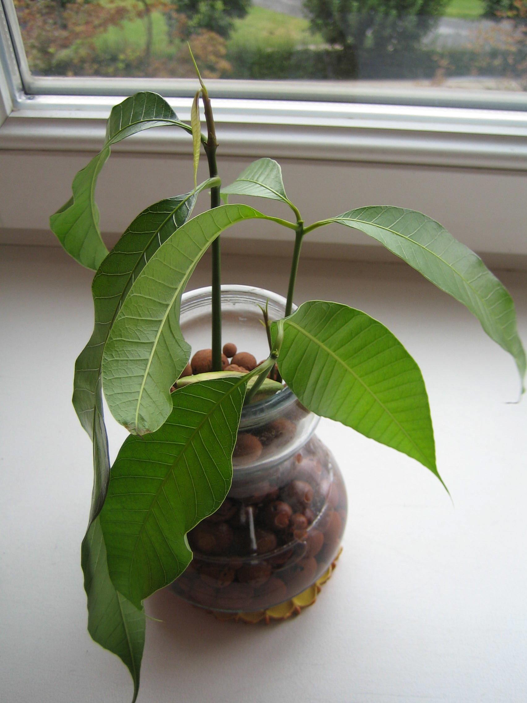 Faire Germer Un Marron D Inde planter un noyau de mangue