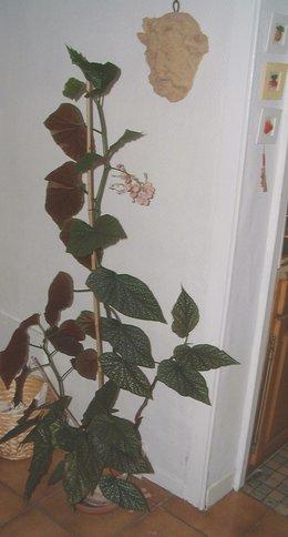 bégonia bambou