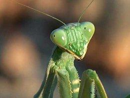 connaissez vous le mantis