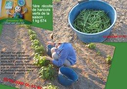 1ére récolte de haricots verts